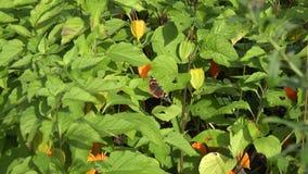 Η τιγρέ πεταλούδα urticae Aglais ταρταρουγών κάθεται στα φύλλα ντοματών φλοιών 4K φιλμ μικρού μήκους
