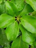 Η τοπ άποψη των πτώσεων με τον κλάδο και τα φύλλα επισκίασαν το δέντρο ομπρελών ή χταποδιών ως υπόβαθρο Στοκ φωτογραφία με δικαίωμα ελεύθερης χρήσης