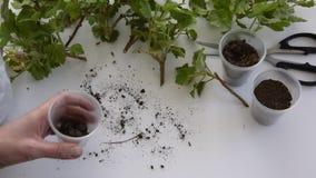 Η τοπ άποψη των χεριών γυναικών γεμίζει τα πλαστικά φλυτζάνια με το χώμα για τη φύτευση των μοσχευμάτων γερανιών απόθεμα βίντεο