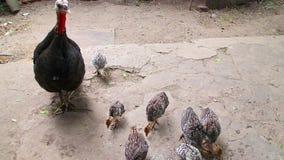 Η Τουρκία ταΐζει τους νεοσσούς στο ναυπηγείο πουλερικών του αγροκτήματος φιλμ μικρού μήκους