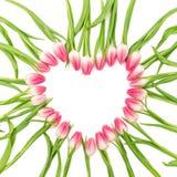 Η τουλίπα ανθίζει την καρδιά που οι Floral ανθίσεις συνόρων απομόνωσαν το λευκό Στοκ Εικόνες