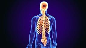 η τρισδιάστατη απεικόνιση του αξονικού σκελετού περιλαμβάνει: κρανίο, σπονδυλική στήλη και πλευρά απεικόνιση αποθεμάτων