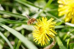 Η τριχωτή μέλισσα-μύγα επικονιάζει την πικραλίδα στοκ εικόνα με δικαίωμα ελεύθερης χρήσης