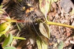 Η τριχωτή Caterpillar Στοκ Εικόνα