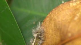 Η τριχωτή Caterpillar απόθεμα βίντεο
