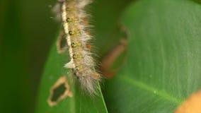 Η τριχωτή Caterpillar φιλμ μικρού μήκους