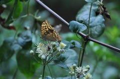 Η τρυφερή καφετιά πεταλούδα κάθεται στα μικρά άσπρα λουλούδια στοκ φωτογραφία με δικαίωμα ελεύθερης χρήσης
