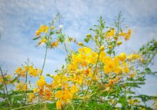 Η υπερηφάνεια των Μπαρμπάντος είναι φρέσκοι και ιατρικοί φράκτης και μπλε ουρανός λουλουδιών στοκ εικόνες με δικαίωμα ελεύθερης χρήσης