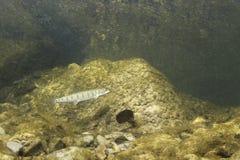 Η υποβρύχια φωτογραφία κοινή το hucho Hucho κολυμπώντας, βιότοπος ποταμών στοκ φωτογραφίες με δικαίωμα ελεύθερης χρήσης