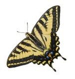 Η δυτική πεταλούδα Swallowtail τιγρών απομόνωσε το λευκό Στοκ Φωτογραφία