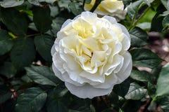 Η υψηλή τάση άσπρη αυξήθηκε λουλούδι Στοκ Εικόνες