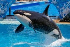 Η φάλαινα δολοφόνων παρουσιάζει εν πλω κόσμο στοκ φωτογραφία με δικαίωμα ελεύθερης χρήσης