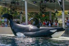 Η φάλαινα δολοφόνων παρουσιάζει εν πλω κόσμο στοκ εικόνες με δικαίωμα ελεύθερης χρήσης