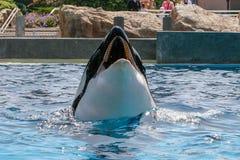 Η φάλαινα δολοφόνων παρουσιάζει εν πλω κόσμο στοκ εικόνα