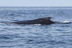Η φάλαινα Humpback κολυμπά στην επιφάνεια Στοκ Φωτογραφία