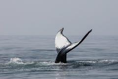 Η φάλαινα Humpback που αυξάνει της τεράστιο λιγοστεύει το βακαλάο ακρωτηρίων στοκ εικόνα
