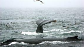 Η φάλαινα θέτει Στοκ φωτογραφίες με δικαίωμα ελεύθερης χρήσης
