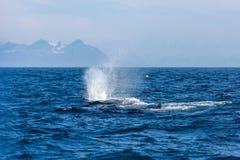 Η φάλαινα σπέρματος με την πηγή στον ωκεανό Στοκ Φωτογραφίες