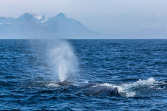 Η φάλαινα σπέρματος με την πηγή στον ωκεανό Στοκ Εικόνες