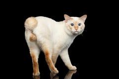 Η φανταστική Mekong Bobtail φυλής γάτα απομόνωσε το μαύρο υπόβαθρο Στοκ Φωτογραφίες