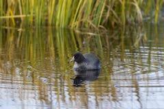 Η φαλαρίδα κολυμπά στη λίμνη Στοκ φωτογραφίες με δικαίωμα ελεύθερης χρήσης