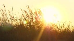 Η φλόγα ήλιων, ήλιος θέτει πίσω από τη χλόη, χρυσή ώρα απόθεμα βίντεο