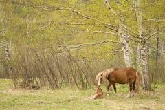 Η φοράδα και foal σε ένα λιβάδι Στοκ Εικόνες