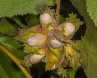 Η φουντουκιά φρούτων Στοκ εικόνες με δικαίωμα ελεύθερης χρήσης