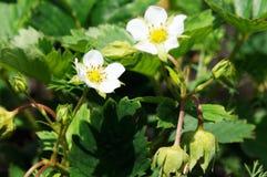 Η φράουλα ανθίζει το υπόβαθρο Στοκ φωτογραφίες με δικαίωμα ελεύθερης χρήσης