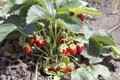 Η φράουλα τρίβει Στοκ εικόνες με δικαίωμα ελεύθερης χρήσης