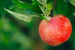 Η φρέσκια κόκκινη Apple στον κλάδο δέντρων της Apple Στοκ Φωτογραφία