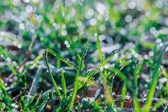 Η φρέσκια πράσινη ανάπτυξη άνηθου στον κήπο που καλύπτεται με τη βροχή ρίχνει την ακτινοβολία στο φως του ήλιου Στοκ Φωτογραφίες