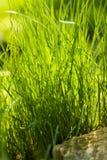 Η φρέσκια πράσινη διακοσμητική χλόη εξωραΐζει στον κήπο στοκ εικόνα