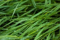 Η φρέσκια πράσινη χλόη με τη δροσιά μειώνεται κοντά επάνω Πτώσεις νερού στη φρέσκια χλόη μετά από τη βροχή στοκ φωτογραφία