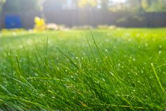 Η φρέσκια πράσινη χλόη με τη δροσιά μειώνεται, όμορφος χορτοτάπητας με τις ακτίνες ήλιων στα ξημερώματα Στοκ εικόνες με δικαίωμα ελεύθερης χρήσης