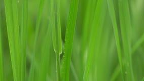 Η φρέσκια πράσινη χλόη με τη δροσιά ρίχνει τους συνδετήρες, πτώσεις δροσιάς στο πράσινο μήκος σε πόδηα χλόης, πτώσεις βροχής στο  φιλμ μικρού μήκους
