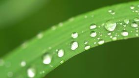 Η φρέσκια πράσινη χλόη με τη δροσιά ρίχνει τους συνδετήρες, πτώσεις δροσιάς στο πράσινο μήκος σε πόδηα χλόης, πτώσεις βροχής στο  απόθεμα βίντεο