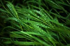 Η φρέσκια πράσινη χλόη με τη δροσιά μειώνεται κοντά επάνω Στοκ Φωτογραφία