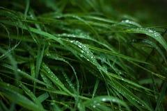 Η φρέσκια πράσινη χλόη με τη δροσιά μειώνεται κοντά επάνω Στοκ Εικόνα