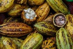Η φρέσκια συγκομιδή ωριμάζει τα φρούτα κακάου από τη φυτεία πρίν επεξεργάζεται στη σοκολάτα στοκ φωτογραφία