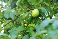 Η φρέσκια Apple στο δέντρο στο θερινό κήπο Στοκ φωτογραφία με δικαίωμα ελεύθερης χρήσης