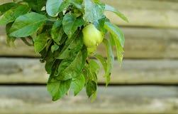 Η φρέσκια Apple στο δέντρο στο θερινό κήπο Στοκ Φωτογραφία