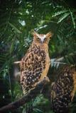 Η φραγμένη αετός-κουκουβάγια κοιτάζει επίμονα Στοκ φωτογραφίες με δικαίωμα ελεύθερης χρήσης