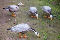 Η φραγμός-διευθυνμένη χήνα (indicus Anser) Στοκ Εικόνα