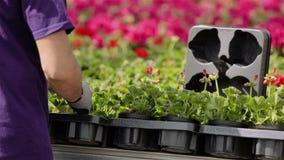 Η φροντίδα εργαζομένων θερμοκηπίων για τα λουλούδια, ροή της δουλειάς στο θερμοκήπιο για την ανάπτυξη ανθίζει απόθεμα βίντεο