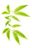 η φτέρη απομόνωσε τα φύλλα Στοκ Εικόνα