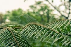 Η φτέρη βγάζει φύλλα στο τροπικό δάσος Στοκ Φωτογραφίες