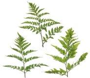 η φτέρη βγάζει φύλλα Στοκ Εικόνες