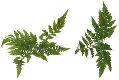 η φτέρη βγάζει φύλλα Στοκ Φωτογραφίες