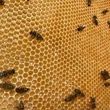 Η φτερωτή μέλισσα πετά αργά στην κηρήθρα συλλέγει το νέκταρ για το μέλι στο ιδιωτικό μελισσουργείο από τα λουλούδια στοκ φωτογραφία